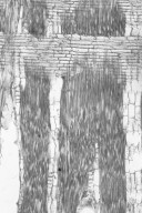 LEGUMINOSAE PAPILIONOIDEAE Pericopsis elata
