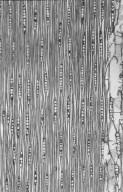 LEGUMINOSAE PAPILIONOIDEAE Platymiscium pinnatum