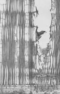 LEGUMINOSAE PAPILIONOIDEAE Pterocarpus angolensis