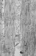 LEGUMINOSAE PAPILIONOIDEAE Pterocarpus dalbergioides