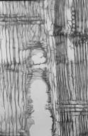 LEGUMINOSAE PAPILIONOIDEAE Pterocarpus indicus