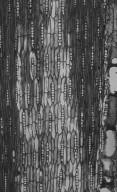 LEGUMINOSAE PAPILIONOIDEAE Pterocarpus macrocarpus