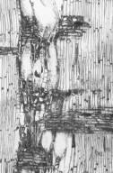 MELIACEAE Aglaia cucullata