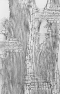 MELIACEAE Dysoxylum malabaricum
