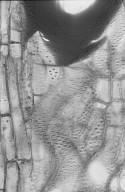 MELIACEAE Melia azedarach