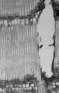 MELIACEAE Sandoricum koetjape