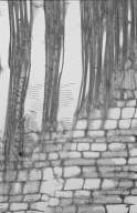 MONIMIACEAE Hedycarya loxocarya