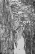 MORACEAE Artocarpus anisophyllus