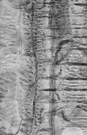 MORACEAE Artocarpus kemando