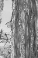 MORACEAE Artocarpus odoratissimus