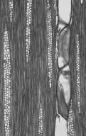 MORACEAE Bagassa guianensis