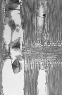 MORACEAE Morus alba