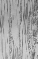URTICACEAE Musanga cecropioides