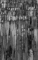 PRIMULACEAE MYRSINOIDEAE Stylogyne longifolia