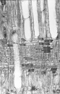 MYRTACEAE Backhousia myrtifolia