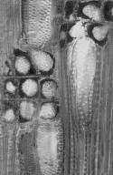MYRTACEAE Choricarpia subargentea