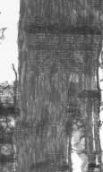 MYRTACEAE Eucalyptus bosistoana