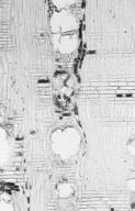 MYRTACEAE Eucalyptus cloeziana