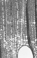 MYRTACEAE Eucalyptus cypellocarpa