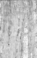 MYRTACEAE Corymbia dichromophloia