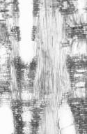 MYRTACEAE Eucalyptus fastigata