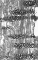 MYRTACEAE Eucalyptus mannifera