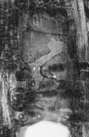 MYRTACEAE Eucalyptus microtheca