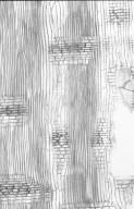 MYRTACEAE Eucalyptus nitens