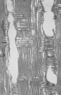 MYRTACEAE Eucalyptus patens