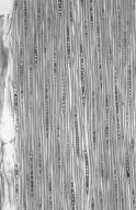 MYRTACEAE Eucalyptus regnans