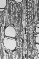 MYRISTICACEAE Pycnanthus angolensis