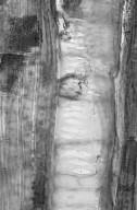 MYRTACEAE Lophostemon confertus