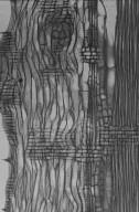 OLEACEAE Fraxinus commemoralis