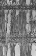 OLEACEAE Ligustrum glomeratum
