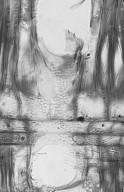 OLEACEAE Chionanthus ramiflorus