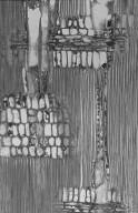 OLEACEAE Olea paniculata