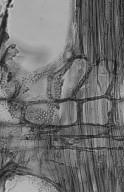 OLEACEAE Olea welwitschii