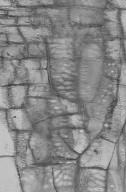 ONAGRACEAE Fuchsia excorticata
