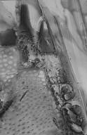 PROTEACEAE Oreocallis wickhamii