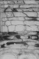 RHAMNACEAE Colubrina arborescens
