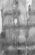 RHAMNACEAE Rhamnus cathartica
