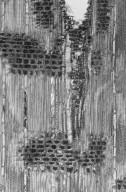 CHRYSOBALANACEAE Acioa scabrifolia
