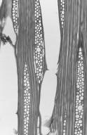 RUTACEAE Euxylophora paraensis