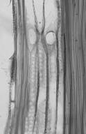 RUTACEAE Phellodendron amurense