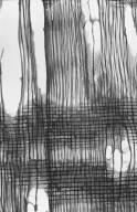 SALICACEAE Populus alba