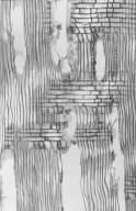 SALICACEAE Salix tetrasperma