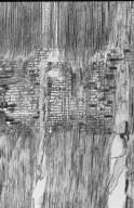 SAPINDACEAE Dimocarpus longan