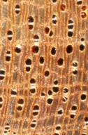 MELIACEAE Entandrophragma utile