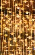 MORACEAE Brosimum guianense
