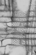 SOLANACEAE Duboisia leichhardtii